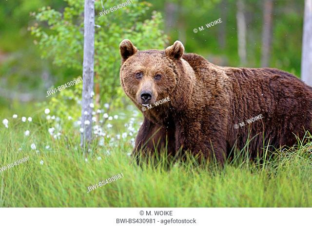 European brown bear (Ursus arctos arctos), walking through cotton-grass, side view, Finland, Kainuu