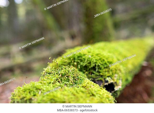 Moss with spore capsules on trunk, alluvial forest Isar floodplains, Geretsried, Bavaria, Germany