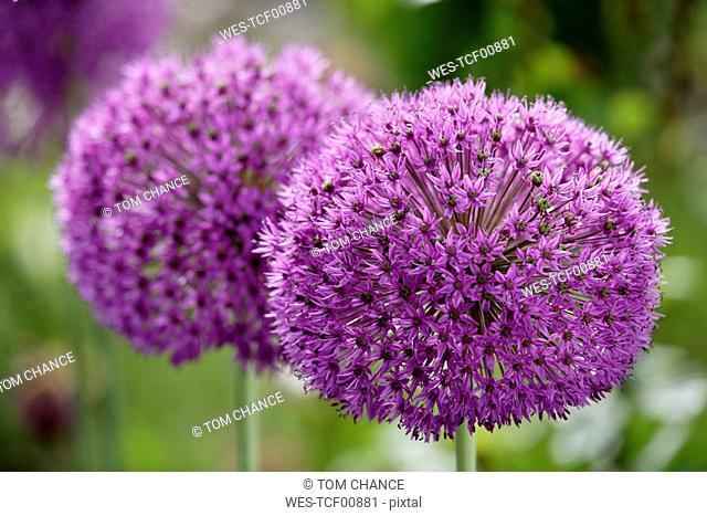 Star of Persia flowers Allium christophii, close-up