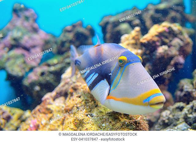 Lagoon triggerfish Coral reef Clown triggerfish