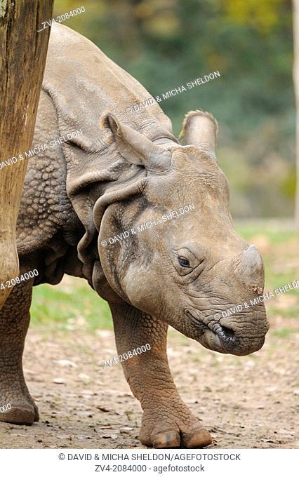 Close-up of an Indian rhinoceros (Rhinoceros unicornis)