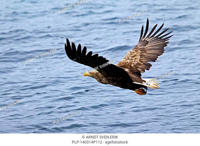White-tailed Eagle / Sea Eagle / Erne (Haliaeetus albicilla) in flight above the sea