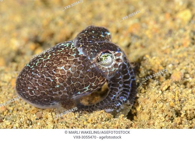 Hummingbird Bobtail squid, Euprymna berryi, Anilao, Batangas, Philippines, Pacific
