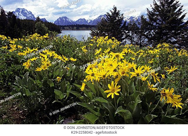 Yellow Balsam root (Balsamorhiza sagittata) and Grand Teton Range, Grand Teton National Park, Wyoming, USA