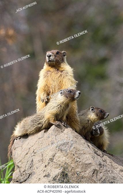 Yellow-bellied marmot Marmota flaviventris, adult female standing and pups, near Tunkwa Provincial Park, British Columbia, Canada