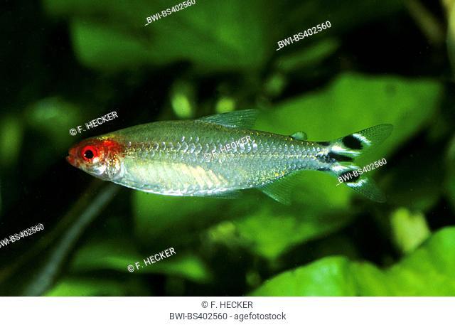 Firehead tetra (Hemigrammus bleheri), swimming