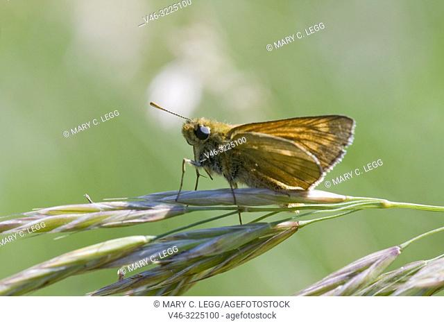 Essex Skipper, Thymelicus lineola, small skipper similar to the Small Skipper, Thymelicus sylvestris. Distinguished by the black antennae tips