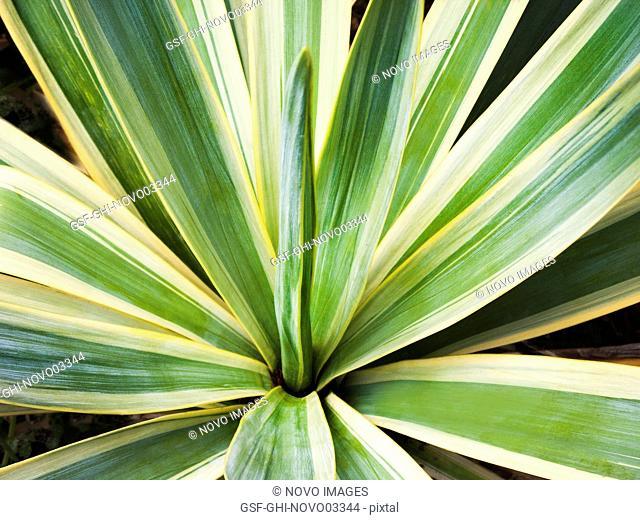 Golden Sword Yucca Plant