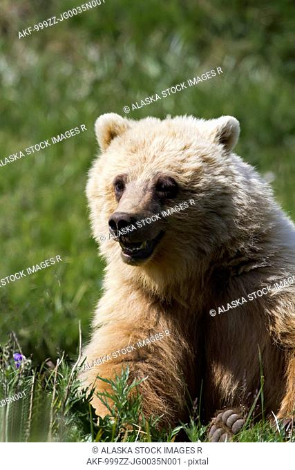 Sub adult Grizzly Bear with mouth open eats grass in Highway Pass in Denali National Park & Preserve, Interior Alaska, Summer