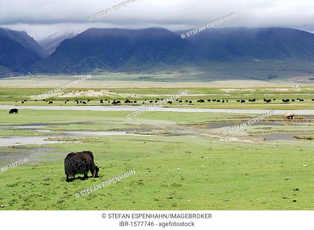 Yaks on pasture, cloud-shrouded mountains near Yangpachen, between Dangxion and Namtso Lake, Heavenly Lake, Tibet, China, Asia