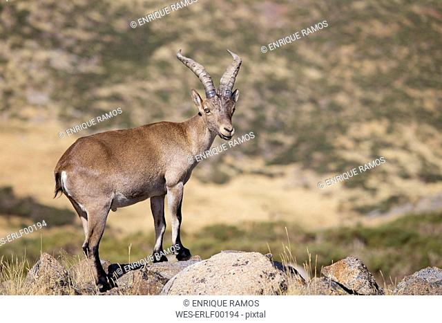 Spain, Sierra de Gredos, Western Spanish ibex on a rock