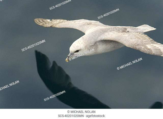 Northern fulmar Fulmarus glacialis on the wing in the Barents Sea in the Svalbard Archipelago, Norway