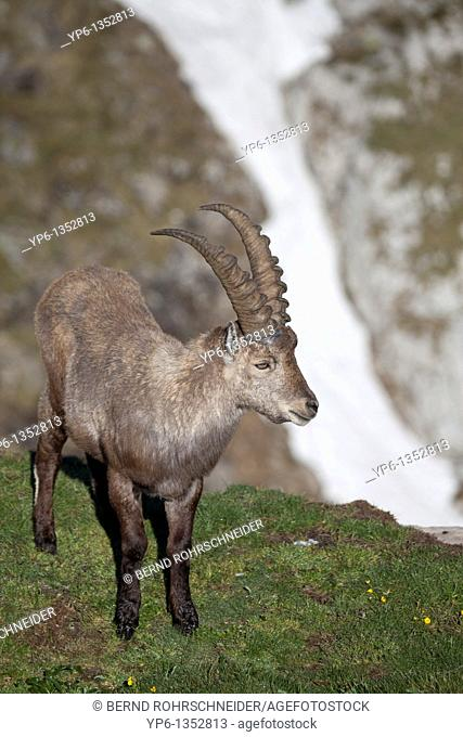 male Alpine Ibex Capra ibex standing on meadow in alpine landscape, Niederhorn, Bernese Oberland, Switzerland