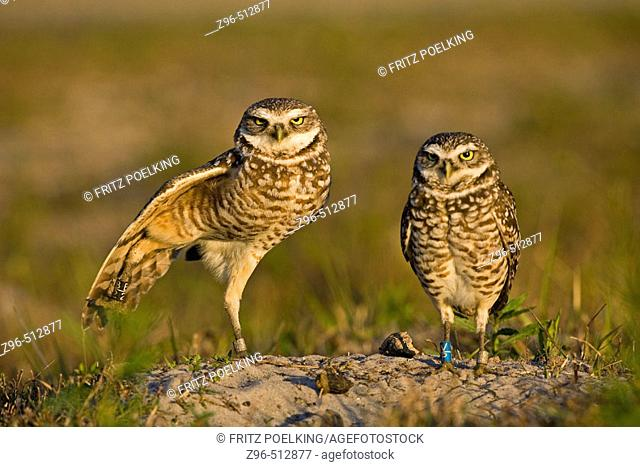 Burrowing Owl (Athene cunicularia ).Cape Coral,  Forida, USA