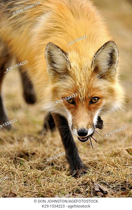 Red fox (Vulpes vulpes). Carrying meadow vole prey
