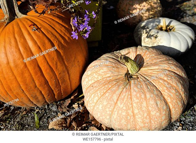 One Too Many variety of white pumpkin with orange veins in outdoor Fall Market in Prince Edward County Ontario Canada