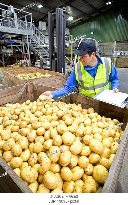 Close up worker examining fresh harvested potatoes at bin