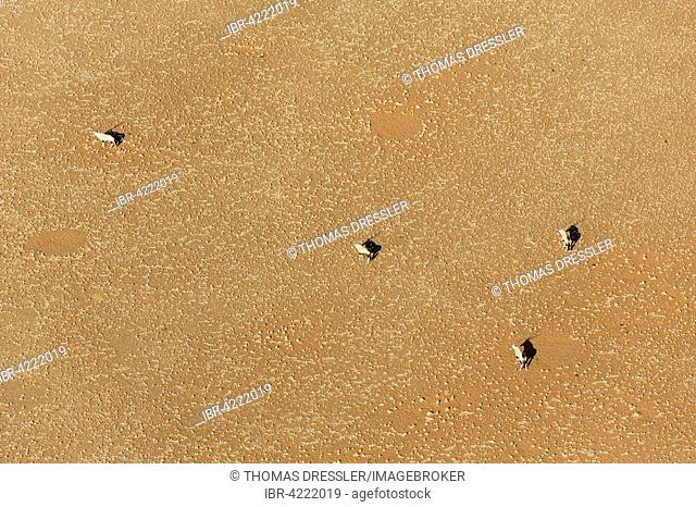 Gemsboks or gemsbucks (Oryx gazella) on sandy plain in Namib Desert, aerial view, Namib-Naukluft National Park, Namibia