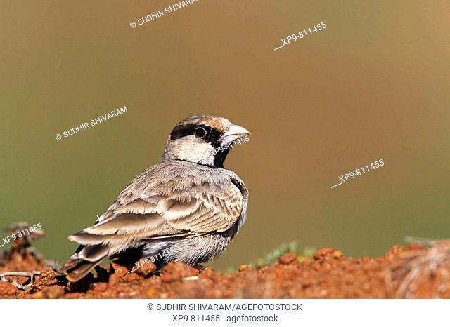 Ashy Crowned Sparrow lark. Bangalore, Karnataka, India