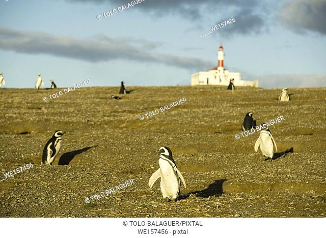 Colony of Magellanic Penguins (Spheniscus magellanicus), isla Magdalena, estrecho de Magallanes, Patagonia, República de Chile, South America