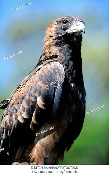 A close up shot of a Australian Wedge Tailed Eagle