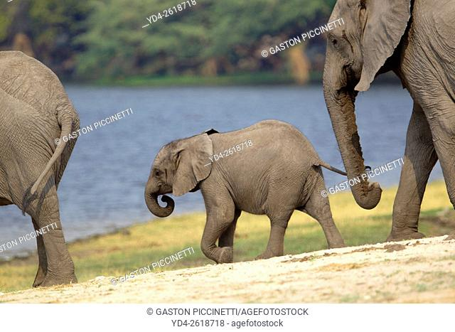 African Elephants (Loxodonta africana), in the river, Chobe National Park, Botswana