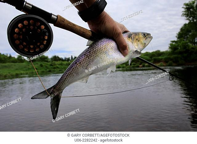 Flyfishing for shad on a river showing a shad being held