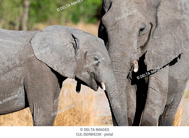 Juvenile with mother elephant (Loxodonta africana) with trunks together, Khwai concession, Okavango delta, Botswana