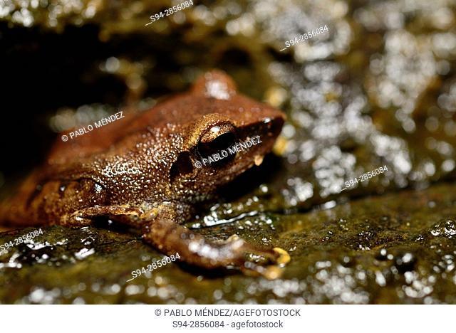 Amboli Bush Frog (Pseudophilautus amboli) in Cotigao sanctuary, Goa, India