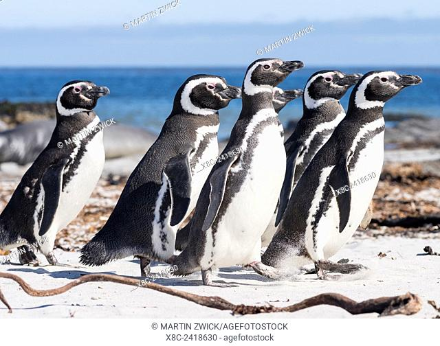 Magellanic Penguin (Spheniscus magellanicus), on beach. South America, Falkland Islands, January