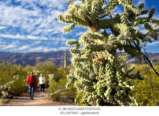 Tucson, Arizona - Hikers walk past cholla cactus in the Cactus Forest in the Rincon Mountain District of Saguaro National Park