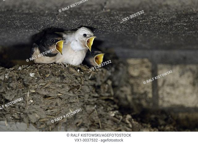 Barn Swallows ( Hirundo rustica ), begging chicks in nest, almost fledged, one with white plumage (gen defect), leucistic, leucism, Europe