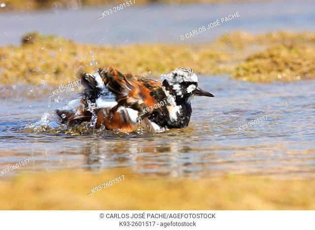 Ruddy turnstone (Arenaria interpres), Es Trenc, Majorca, Balearic Islands, Spain