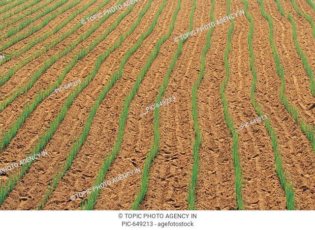 Spring Onion Field,Korea
