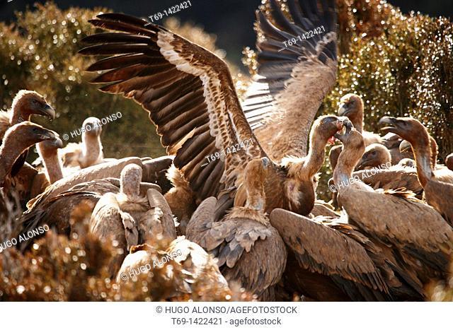 Griffon vultures feeding on a sheep