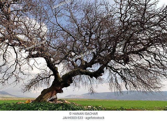 Israel, the Lower Galilee. Atlantic Pistachio Pistacia Atlantica tree in Beth Natofa valley