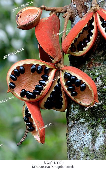 Kelumpang Sarawak (Sterculia megistophylla) split open fruit revealing shiny seeds, Sepilok Forest Reserve, Borneo, Malaysia