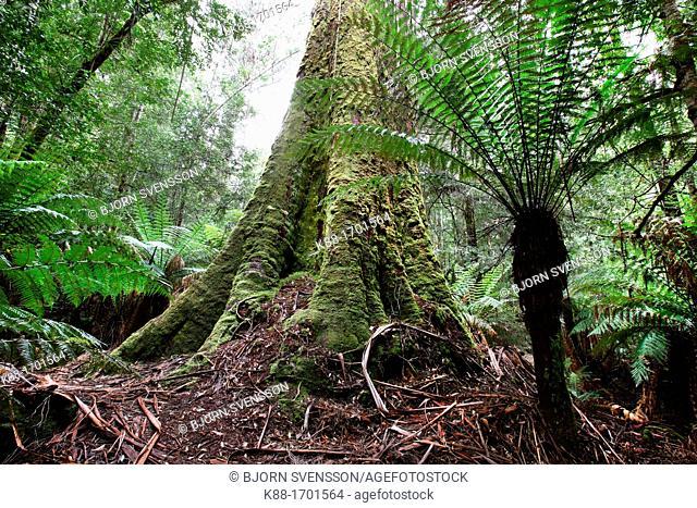 Swamp Gum Eucalyptus regnans, one of the tallest tree species in the world  Styx Valley of the Giants, Tasmania, Australia