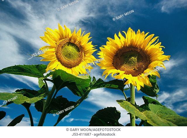 Sunflower detail. North Dakota. USA