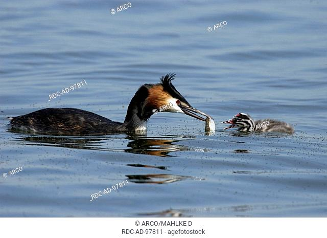 Great Crested Grebe feeding chick, Lower Saxony, Germany, Podiceps cristatus