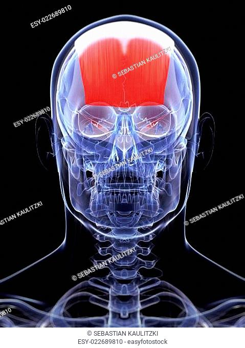 Frontalis muscle Stock Photos and Images | age fotostock