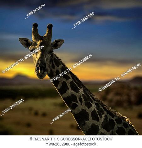 Giraffe ,Etosha National Park, Namibia, Africa