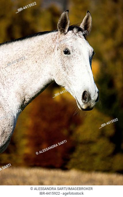 Holsteiner, Fliegenschimmel, horse, portrait, Tyrol, Austria