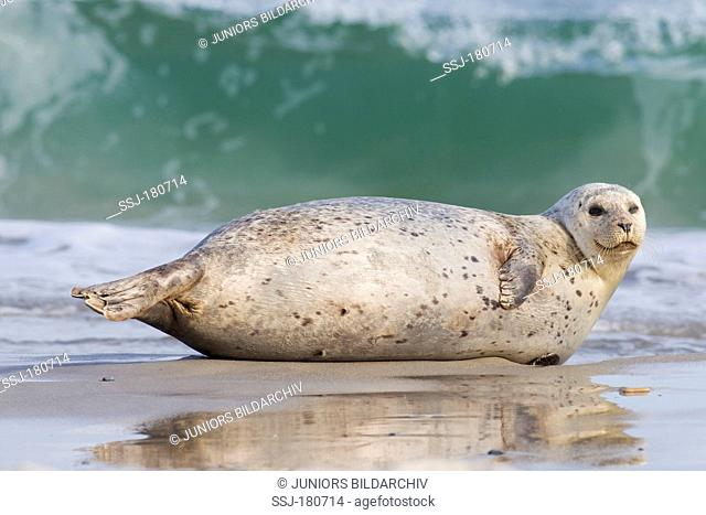 Common Seal, Harbour Seal (Phoca vitulina vitulina). Adult resting on a beach in front of the surf of the Duene, Helgoland, North Sea, Germany