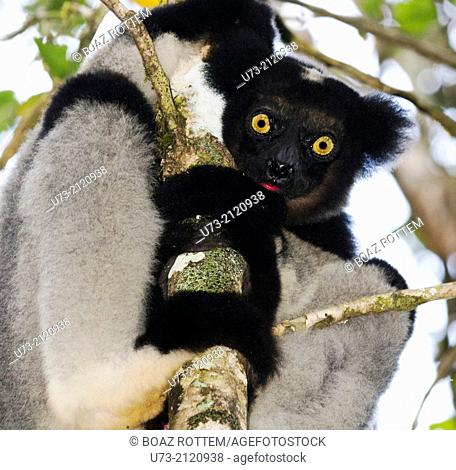 The Indri Indri is the largest Lemur in Madagascar. photo taken in Andasibe forest