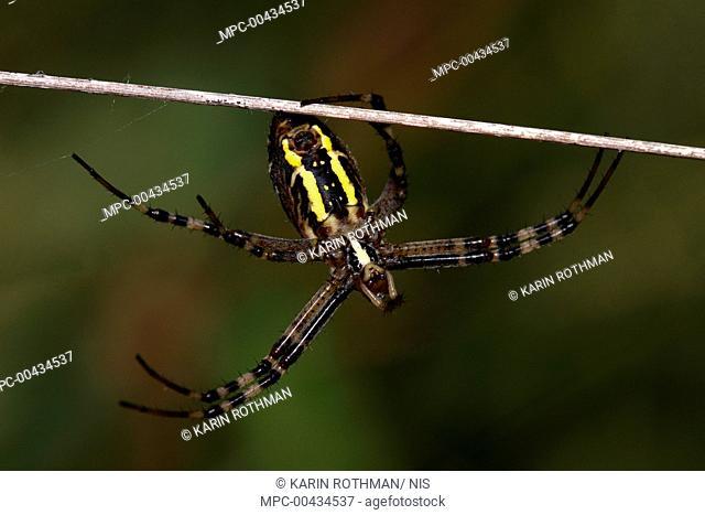 Wasp Spider (Argiope bruennichi) female on twig, Overijssel, Netherlands
