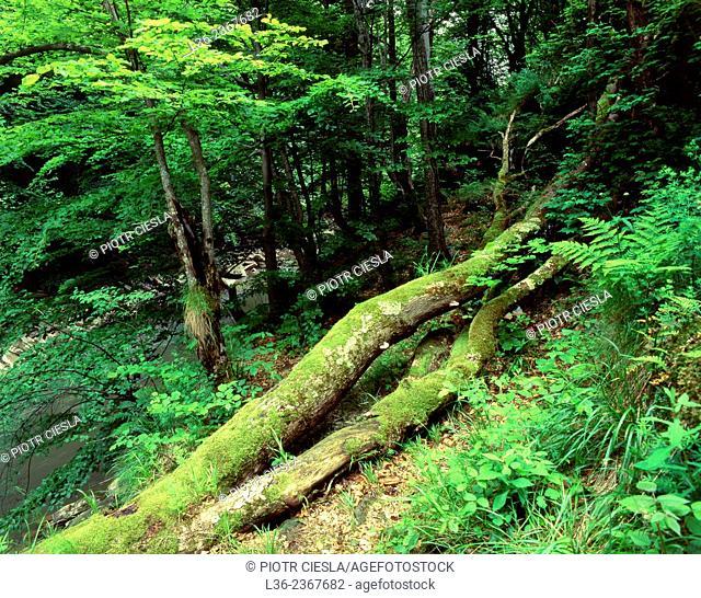 Poland. Bieszczady Mountains. The forest