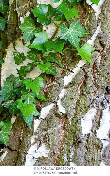 natural background with ivy leaves on bark