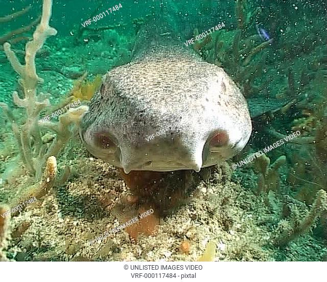 Large Dogfish facing into frame resting on reef, gills breathing MS
