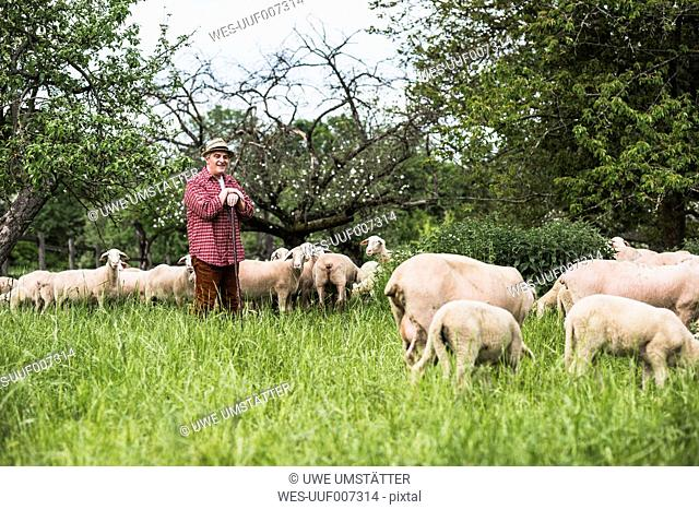 Shepherd with flock of sheep on pasture